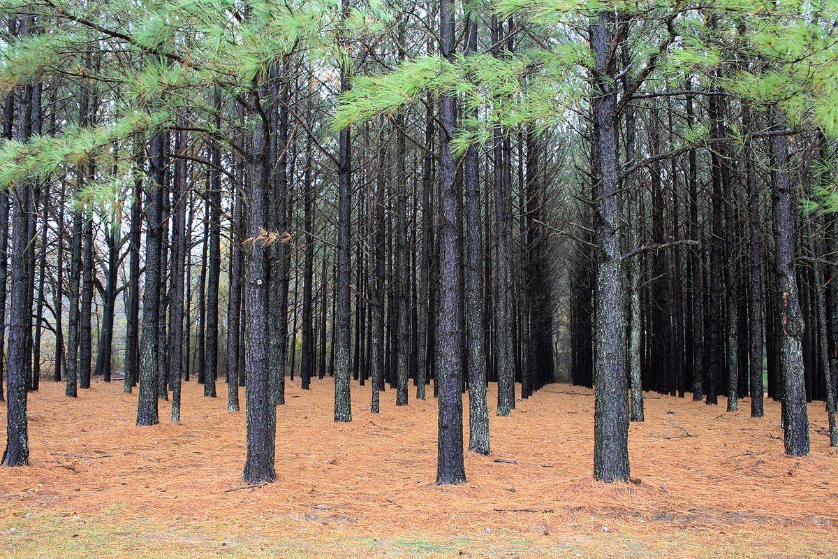 1200px-Pinus_taeda_plantation